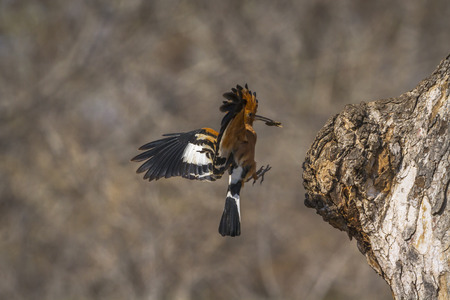 Photo pour African hoopoe in Kruger National park, South Africa ; Specie Upupa africana family of Upupidae - image libre de droit