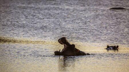 Foto de Hippopotamus yawning mouth open n Kruger National park, South Africa ; Specie Hippopotamus amphibius family of Hippopotamidae - Imagen libre de derechos