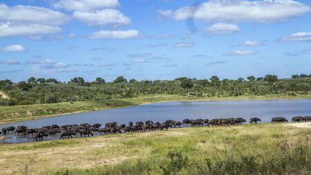 Foto de Herd of African buffalo in lake side in Kruger National park, South Africa ; Specie Syncerus caffer family of Bovidae - Imagen libre de derechos