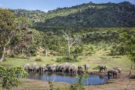 African bush elephant herd in beauty scenery in Kruger National park, South Africa ; Specie Loxodonta africana family of Elephantidae