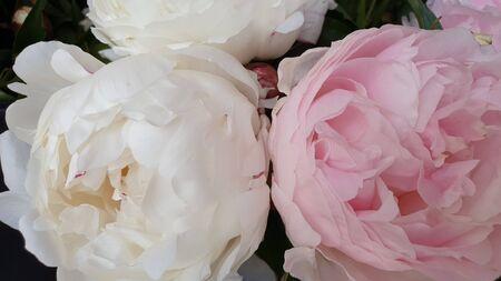 Photo pour Pink peony petals delicate rose flower peonies - image libre de droit