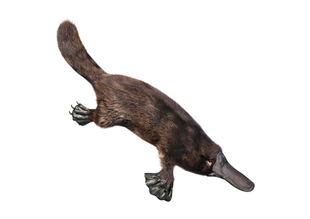 Photo pour 3D rendering of a platypus or Ornithorhynchus anatinus isolated on white background - image libre de droit
