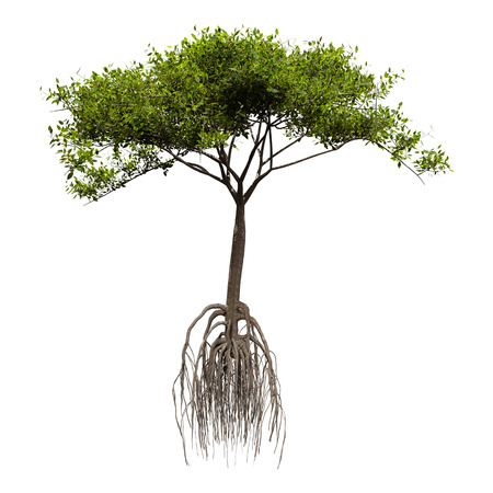 Photo pour 3D rendering of a green mangrove tree isolated on white background - image libre de droit