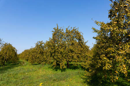 Foto für Green pears on the branches of trees in the garden. Selective focus. - Lizenzfreies Bild