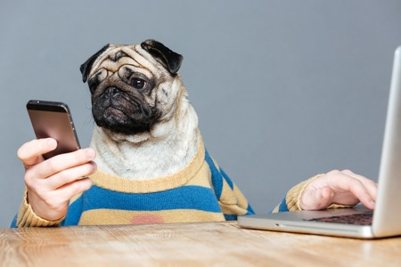 Funny man with pug dog head in striped pullover using laptop and smartphone over grey backgroundの写真素材