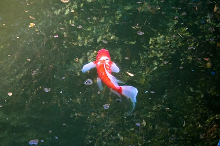 Red japanese koi slowly swimming in the pond