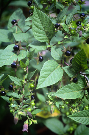 Deadly Nightshade (Atropa belladonna). toxic plant used in medicine, in the past also in the magical arts.
