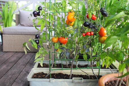 Photo pour Container vegetables gardening. Vegetable garden on a terrace. Red, orange, yellow, black tomatoes growing in container - image libre de droit