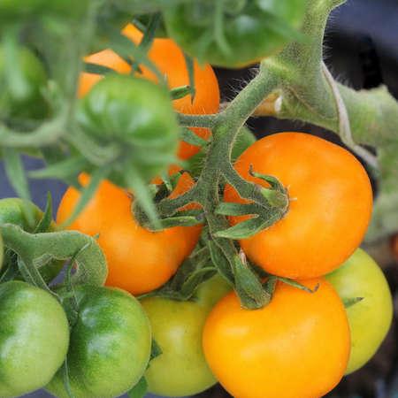 Foto für Fresh orange tomatoes growing in the garden . - Lizenzfreies Bild