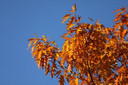 Foto per Pin oak tree in autumn - Immagine Royalty Free