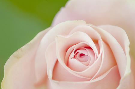 Foto per petali di rosa - Immagine Royalty Free