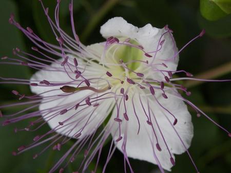 Foto per FLOWER, CAPER - Immagine Royalty Free