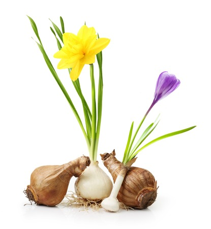 Narcissus and crocus from bulb with root isolated on white background.
