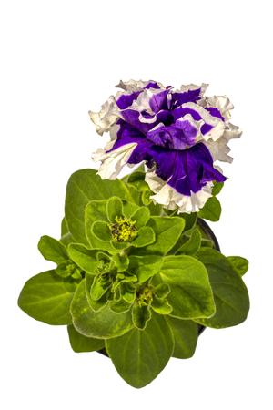 Photo pour Petunia with purple flowers in a pot on a white - image libre de droit