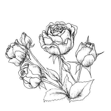 Illustration pour Highly detailed hand drawn roses isolated on white. - image libre de droit