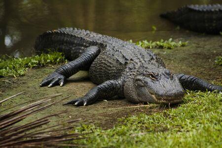 Photo pour alligator in Australia Zoo, Brisbane - image libre de droit