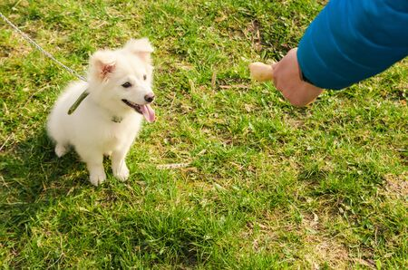 cute white dog eat food from host on  grass