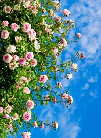 roses against blue sky. Rose Garden in the Prague
