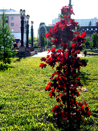 Photo pour tree with the Latin name Acer platanoides 'Crimson Sentry' grows in Chelyabinsk in the Park - image libre de droit