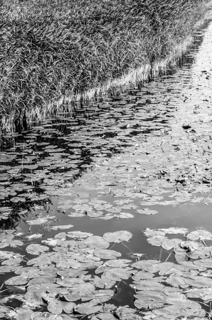 Black and white landscape, water lilys and reed on a pond