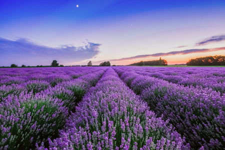 Photo pour Sunrise and dramatic clouds over Lavender Field - image libre de droit