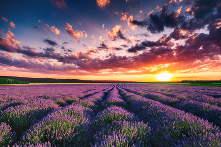 Foto per Lavender flower blooming fields in endless rows. Sunset shot. - Immagine Royalty Free