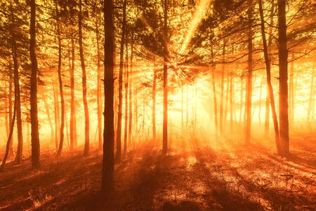 Sun beams pour through trees in foggy forest.