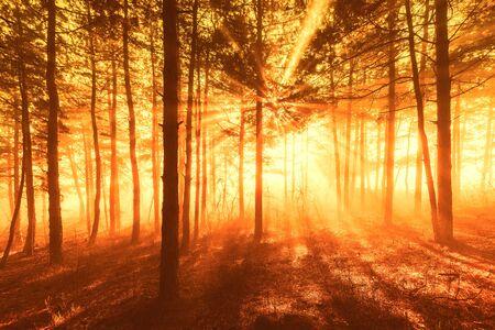 Photo pour Sun beams pour through trees in foggy forest. - image libre de droit