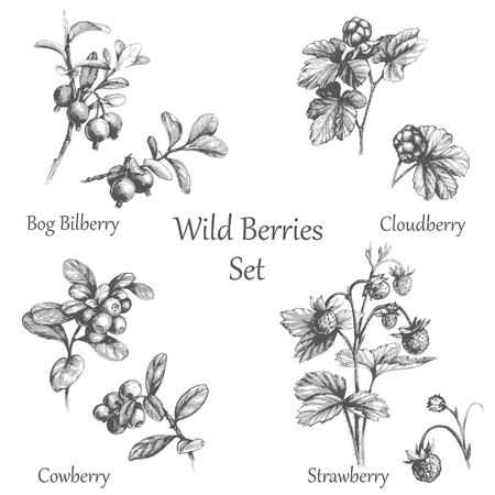 Illustration pour Hand drawn illustration of forest berries. Twigs of Wild berries.  Monochrome sketch berry set. - image libre de droit