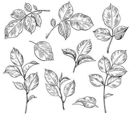 Illustration pour Hand drawn set of rose leaves isolated on white background. Monochrome floral elements, plant parts vector sketch. - image libre de droit