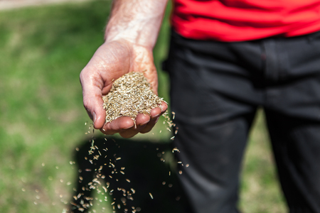 Foto per Man sows a handful of grass seeds by scattering them around. - Immagine Royalty Free