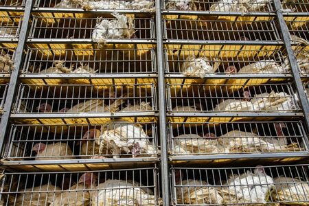 Foto de low angle of live white turkeys in transportation truck cages in bad conditions, process of transporting poultry from the farm to the slaughterhouse concept. - Imagen libre de derechos