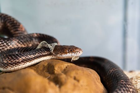 Photo pour Closeup shot with selective focus of pet serpents head as it sheds its skin. Sly serpent shedding over stone structure in its glass enclosure - image libre de droit