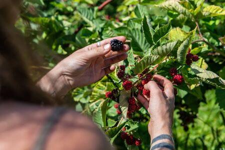 Foto für Selective focus and close up shot of woman hands with tattoos as she picking a ripe blackberry fruit. from the blackberries bush during harvest season - Lizenzfreies Bild