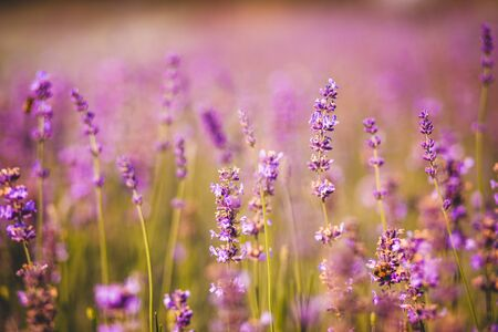 Photo for field of purple colored lavender angustifolia plant in summer afternoon - Royalty Free Image