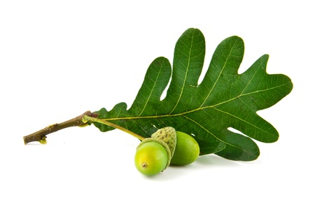 acorns and the oak leaves on a white background