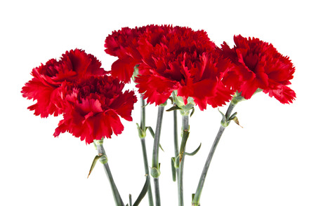 Photo pour red carnation flowers isolated on white background - image libre de droit