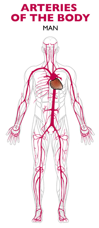 Illustration pour Arteries in the human body, anatomy. An artery is a blood vessel that takes blood away from the heart - image libre de droit