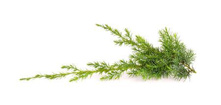 Photo pour Juniper twig isolated on white background. Ornamental plants for landscape design - image libre de droit