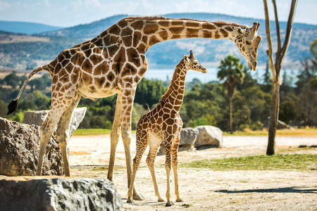 Foto de Giraffe family on a walk in the desert - Imagen libre de derechos