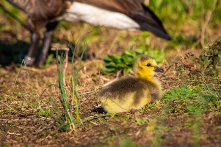 Photo for Cute baby canadian gosling birds in the wild at spring day - Royalty Free Image
