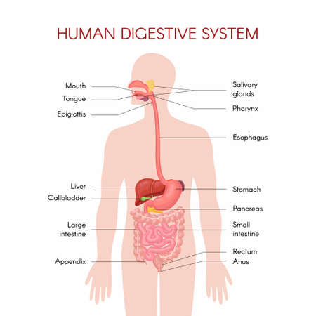 Illustration pour Anatomy of the human digestive organs with description of the corresponding functions internal organs. Anatomical vector illustration in flat style isolated over white background. - image libre de droit