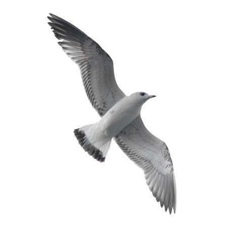 Seagull isolated on white background.