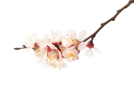 The almond tree pink flowers with branches isolated on white