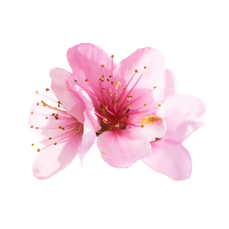Photo pour Almond pink flowers isolated on white background. Macro, closeup shot - image libre de droit