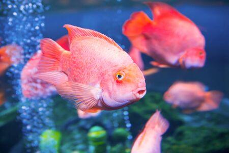 Photo pour Tropical red fishes in aquarium as nature underwater sea life background - image libre de droit