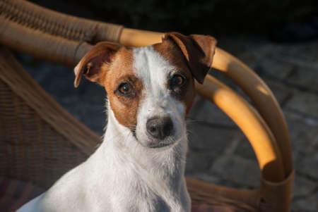 Photo pour Jack Russell terrier female dog head closeup - image libre de droit