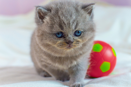 Photo for little, gray kitten plays with a red ball on a white cover, selective focus - Royalty Free Image
