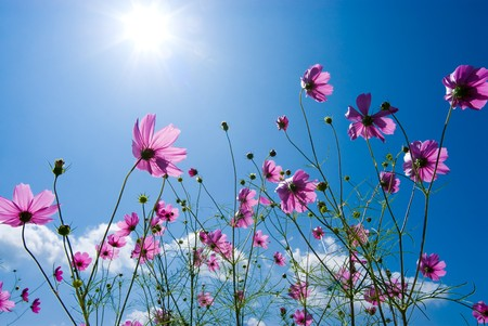 Cosmos flower in the blue sky