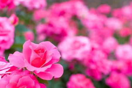 Flower field of pink rose